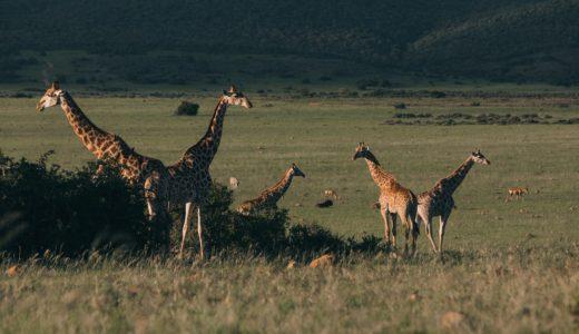 キリンが絶滅危惧種となった原因(理由)。レッドリストに入った種類は?