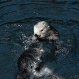 日本でラッコが見られる水族館はどこ?現在4頭しか飼育されていないって知ってる?絶滅危惧種になった理由・原因と対策まとめ。